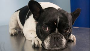 A French Bulldog with acupuncture needles inserted throughout its body.