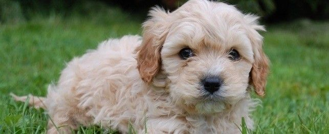 names for cavapoo dogs