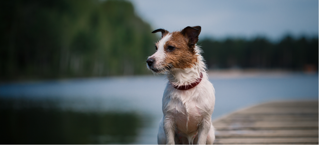 A Jack Russell Terrier sitting on a dock by the water.