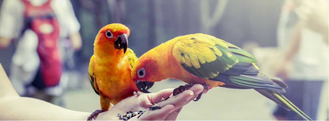 Two birds eat feed out of their owners hand.