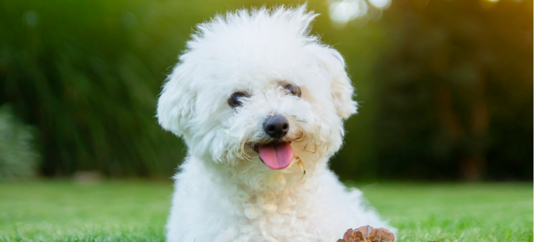 This lovable Bichon Frise is relaxing at the park.