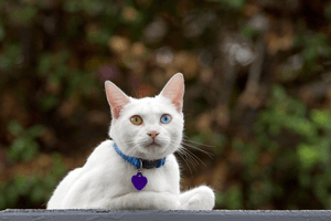A white cat with two different-colored eyes and a purple heart-shaped name tag.