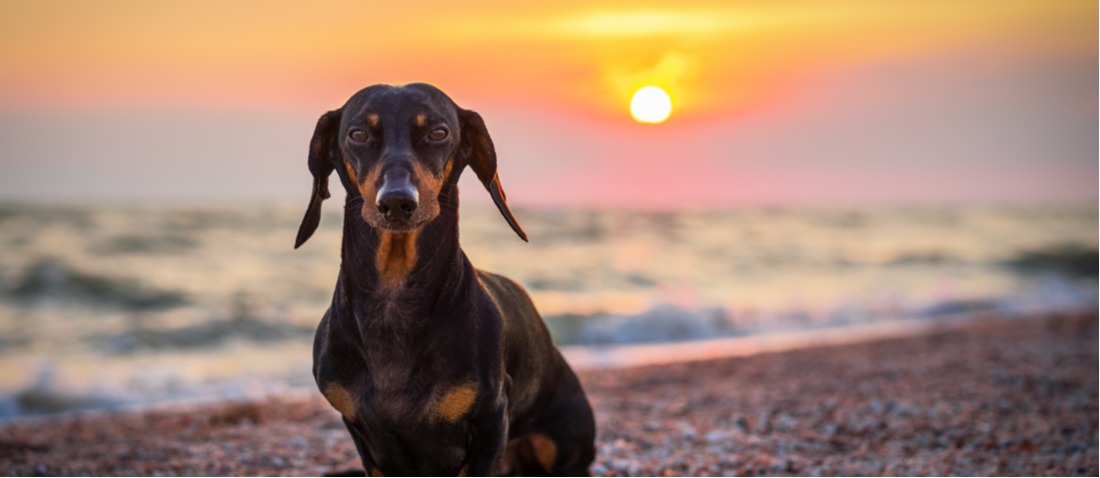 A Dachshund poses for a portrait on the beach.