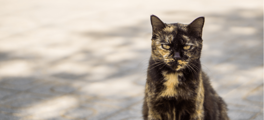 A tortoiseshell cat in a bad mood, also known as tortitude.