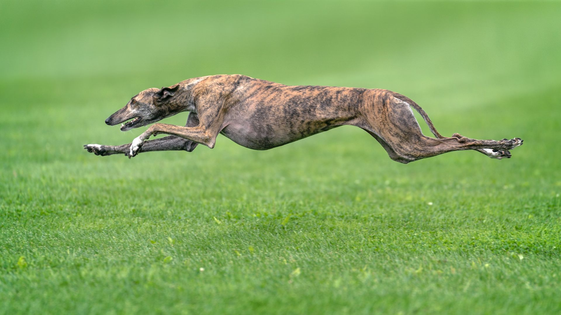 how fast can a greyhound run