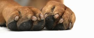 footpad injuries in dogs