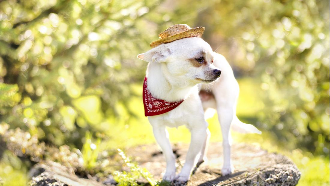 A small white dog with a straw hat and red bandana.