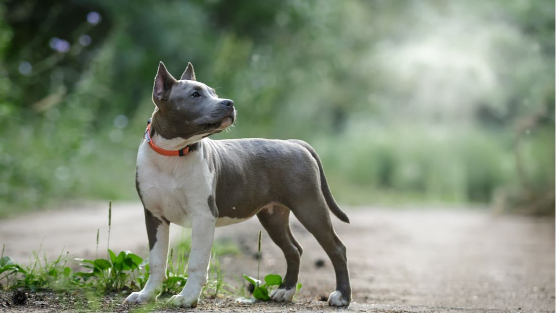 A gray Pitbull poses in the sun.