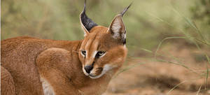 A wild Caracal cat, with its famous tufted ears, stares menacingly.