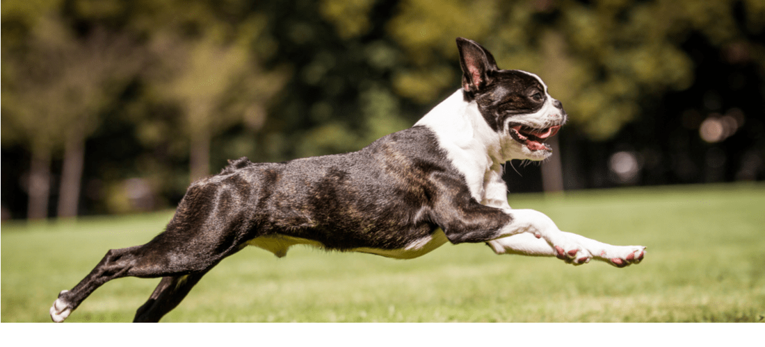 A Boston Terrier in mid-air.