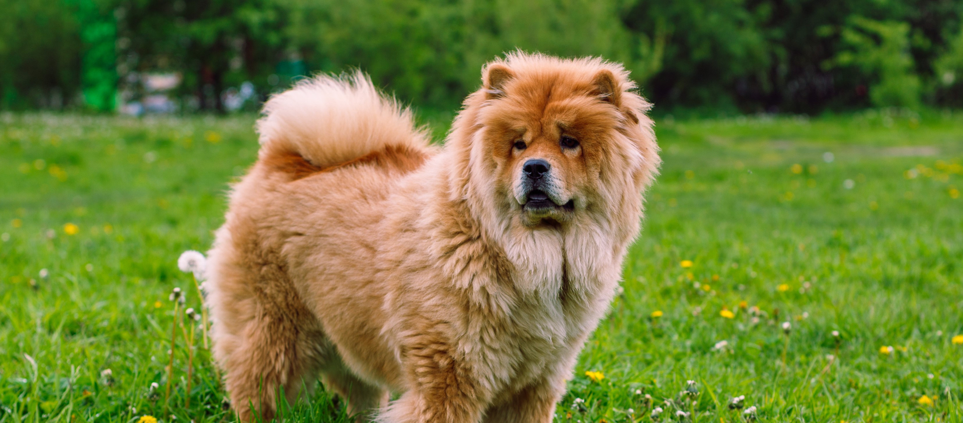 A fluffy Chow Chow poses on grass.