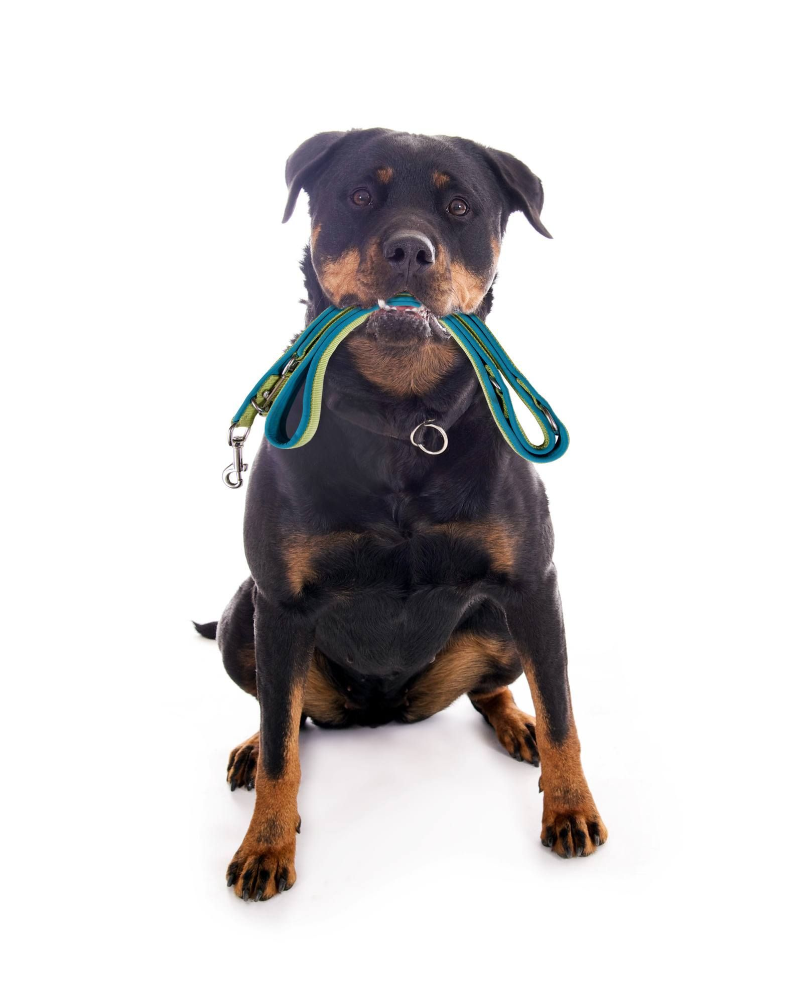 owning a rottweiler