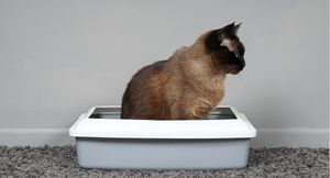 A siamese cat sitting in its litter box.