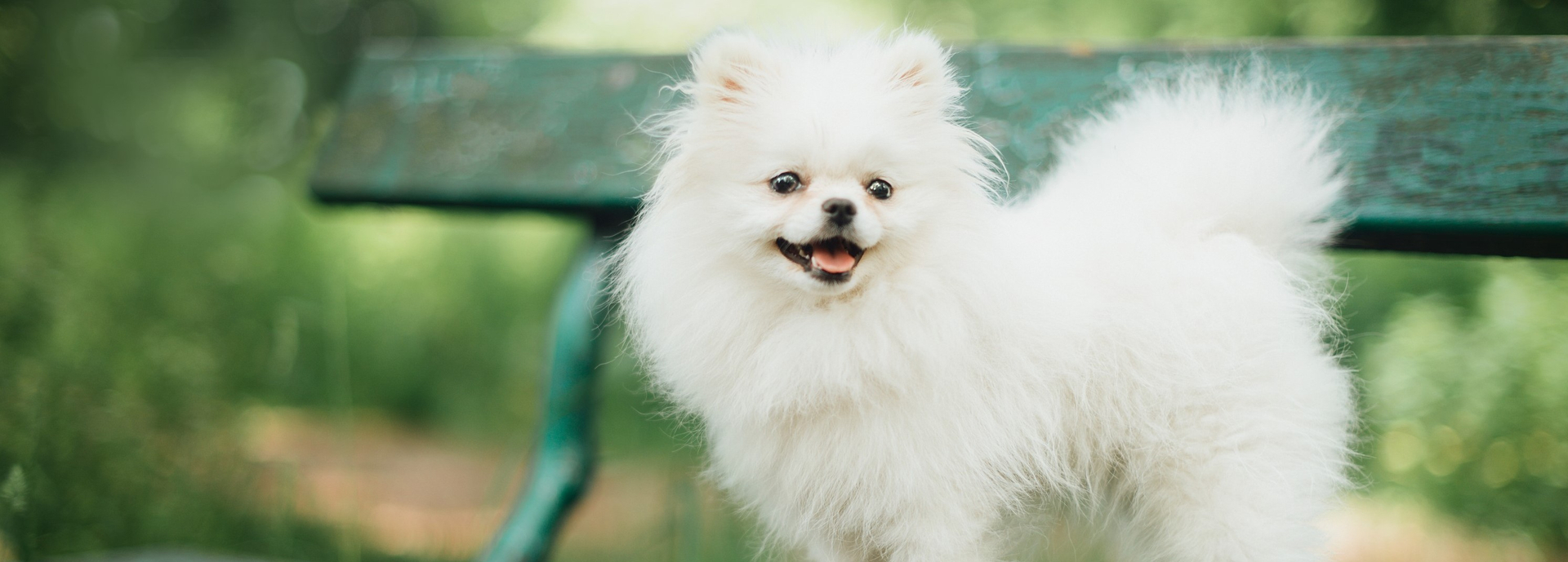 Breed history and appearance of the Pomeranian.