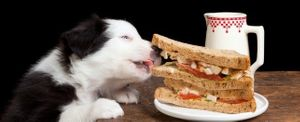 gluttony bloat in dogs