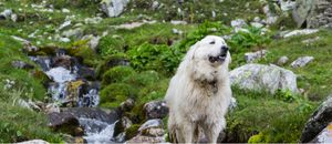 The Great Pyrenees, a member of the Working Group, rests by a brook.
