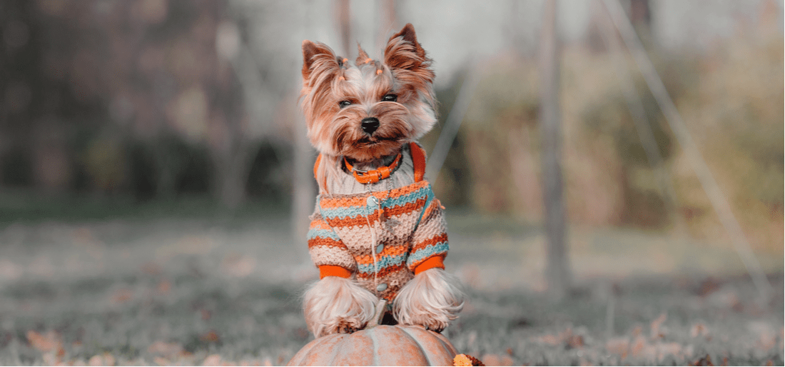 A dog in a fall sweater resting its paws on a pumpkin.
