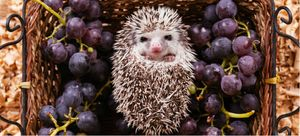 Health and wellness for African pygmy hedgehogs.
