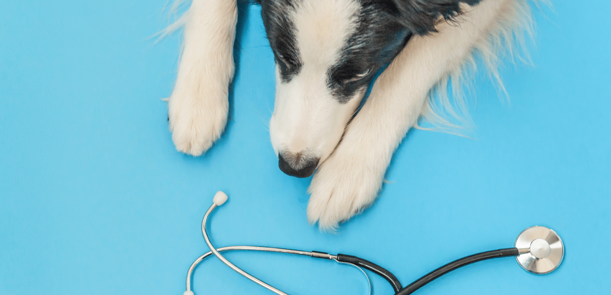 A black and white dog laying on its stomach and stretching its paws toward a stethoscope.