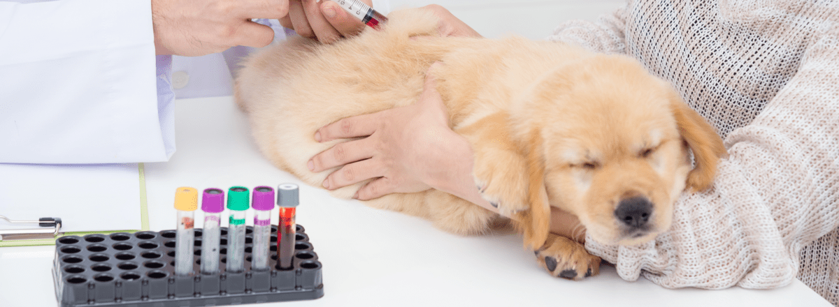 A veterinarian extracts blood from a Golden Retriever puppy.
