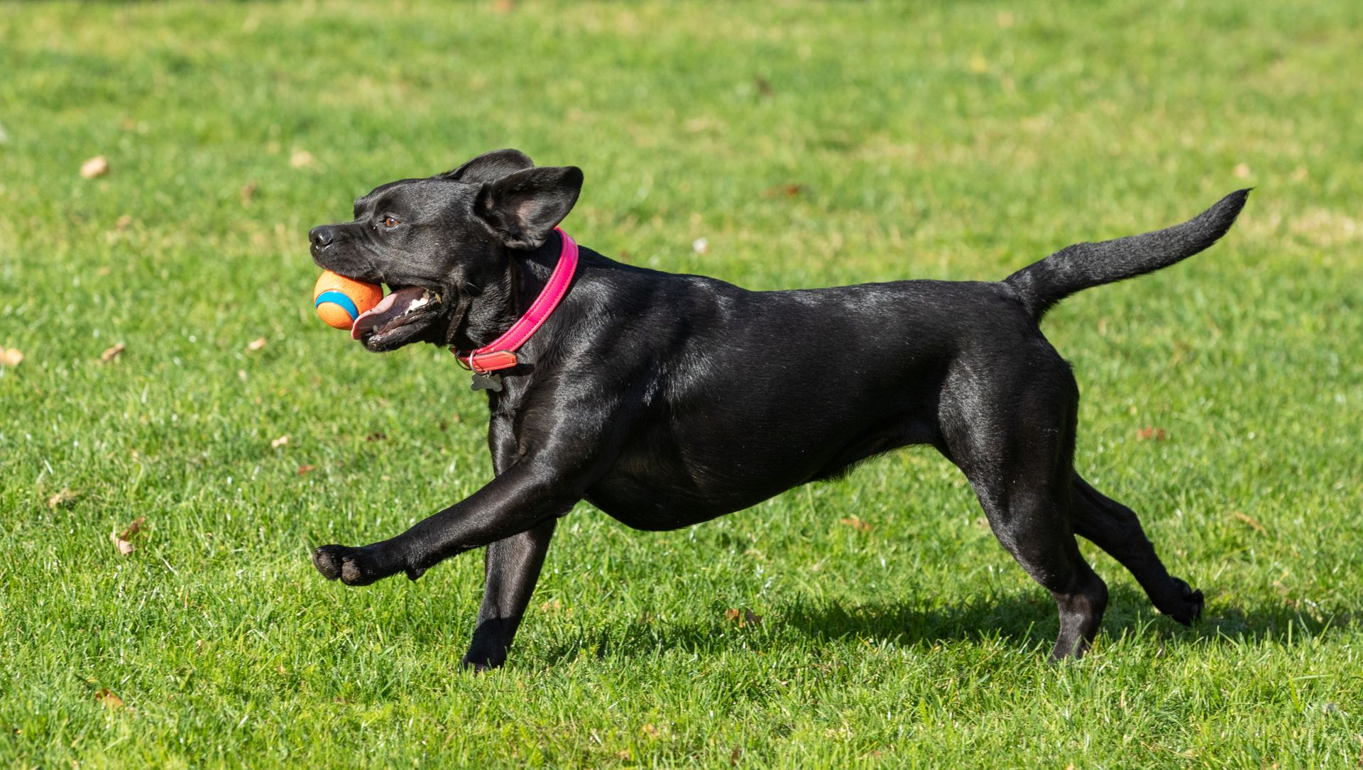 A black dog runs with a ball in its mouth.