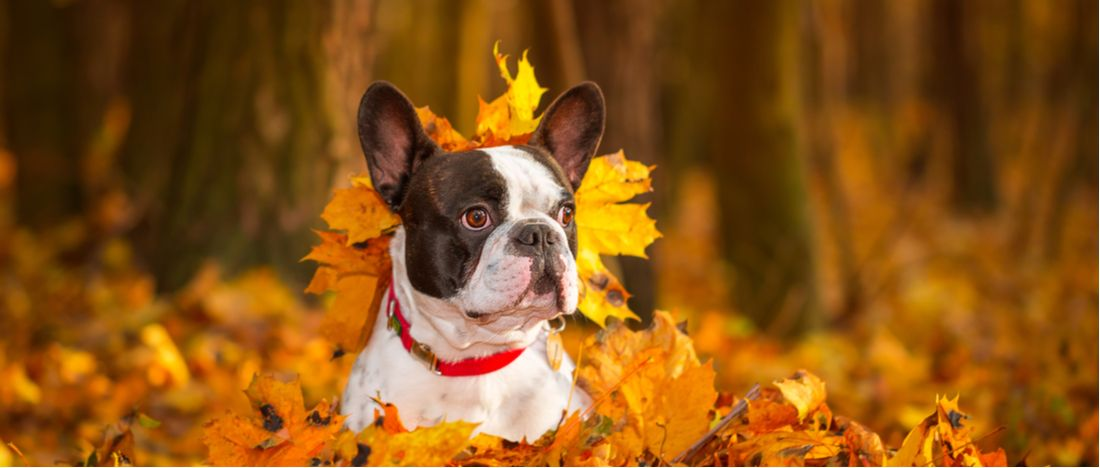 A French Bulldog plays in the fall leaves.