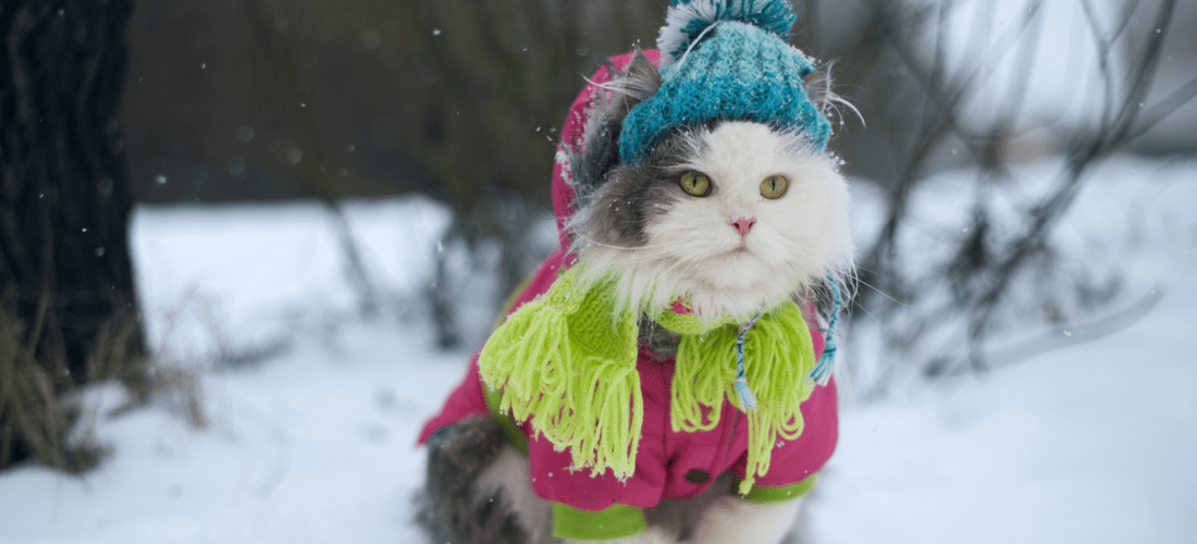 A cat dressed up for cold weather.