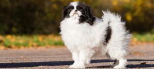 Selecting a Japanese Chin