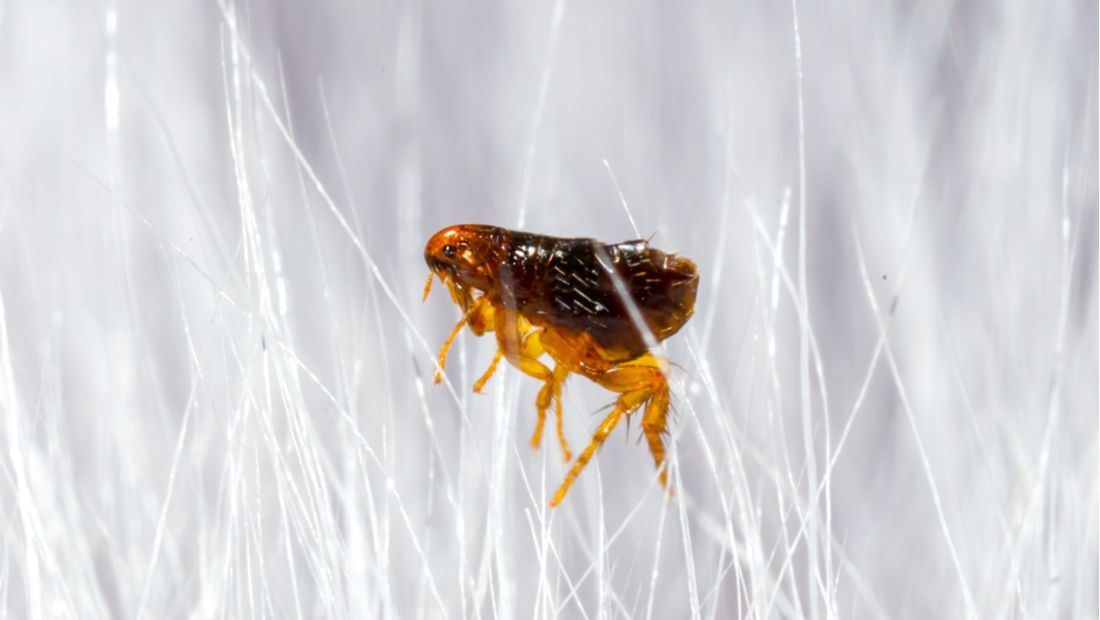 A single flea stands in a field of white pet hair.
