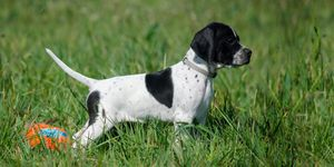 A black and white English Pointer.
