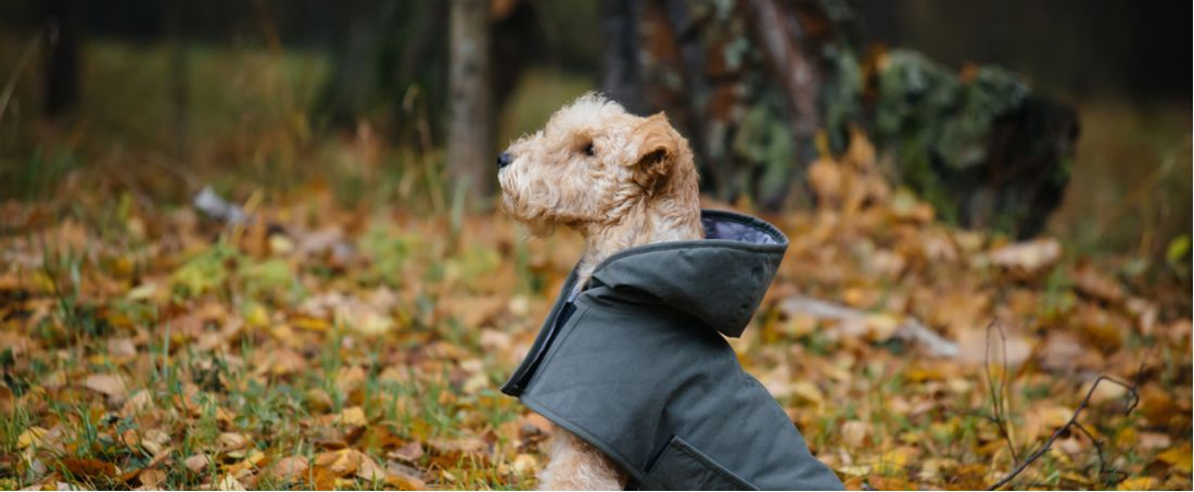 A terrier prepared for bad weather in its raincoat.