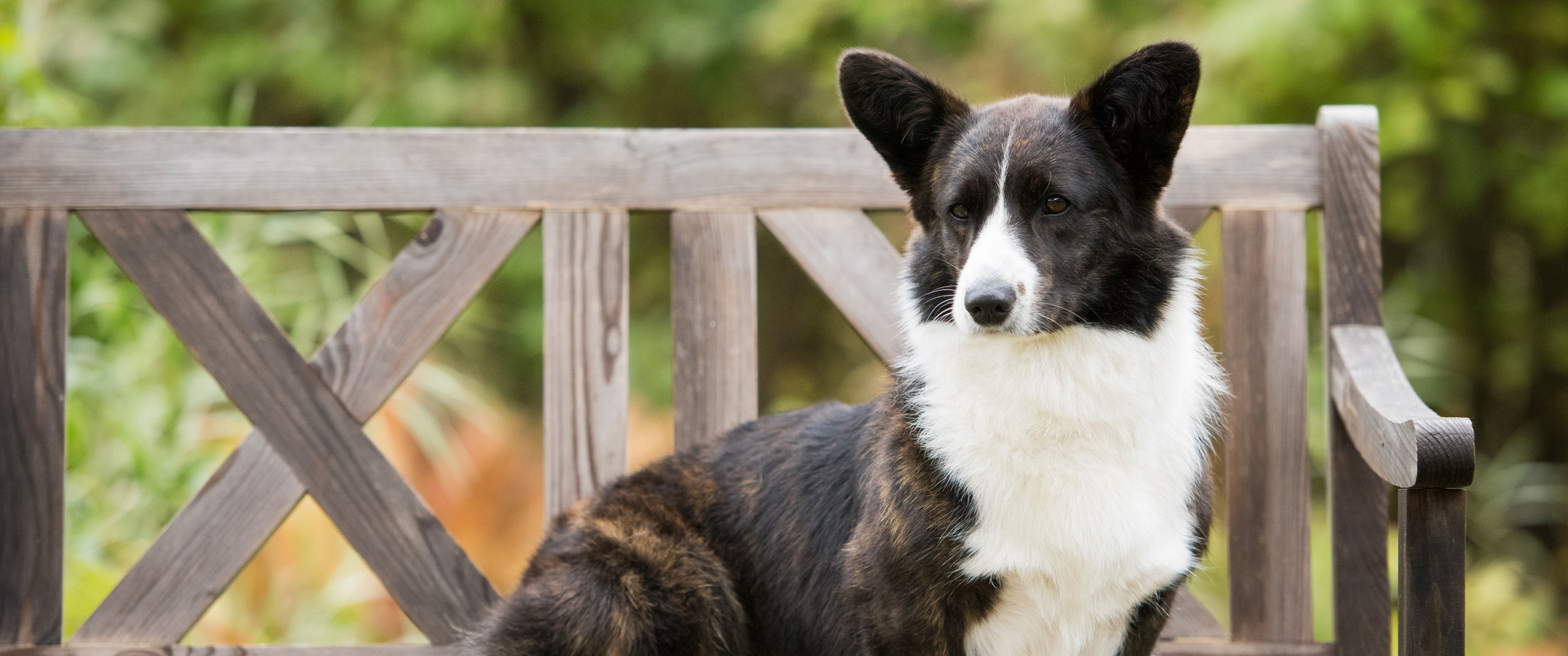 A Cardigan Welsh Corgi poses for a photo.