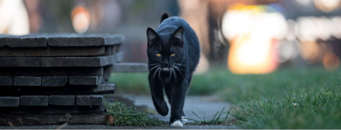 Black Cats The Myth The Legend And The Science