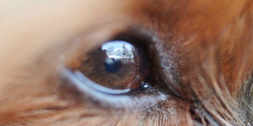 A close-up photo of a dog's eye.