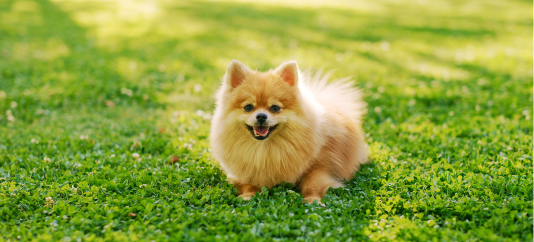 A cute Pomeranian dog poses in the grass.