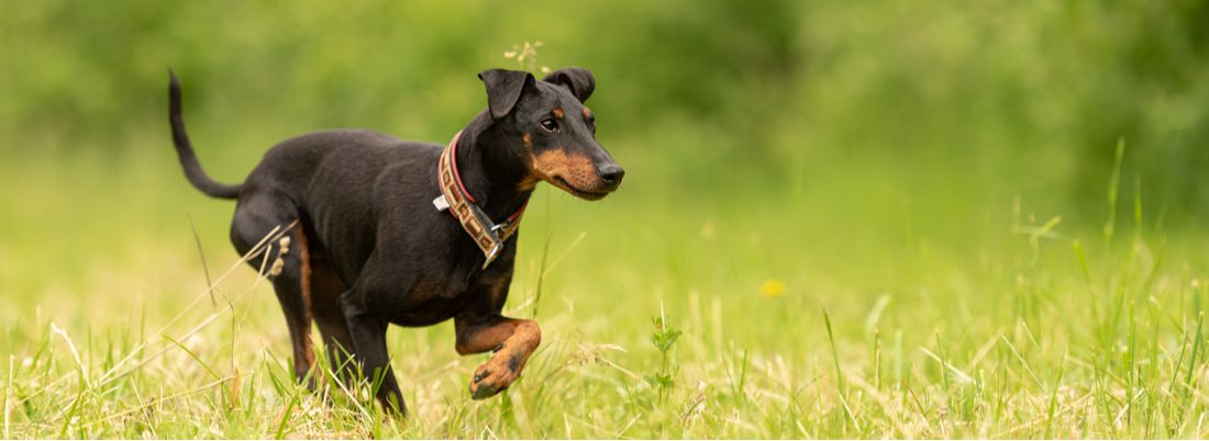 A Manchester Terrier runs in a green meadow.
