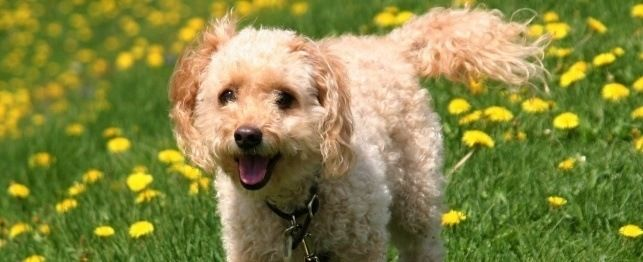names for cockapoo dogs