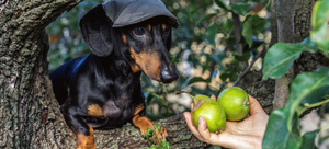 Can pets eat pears?