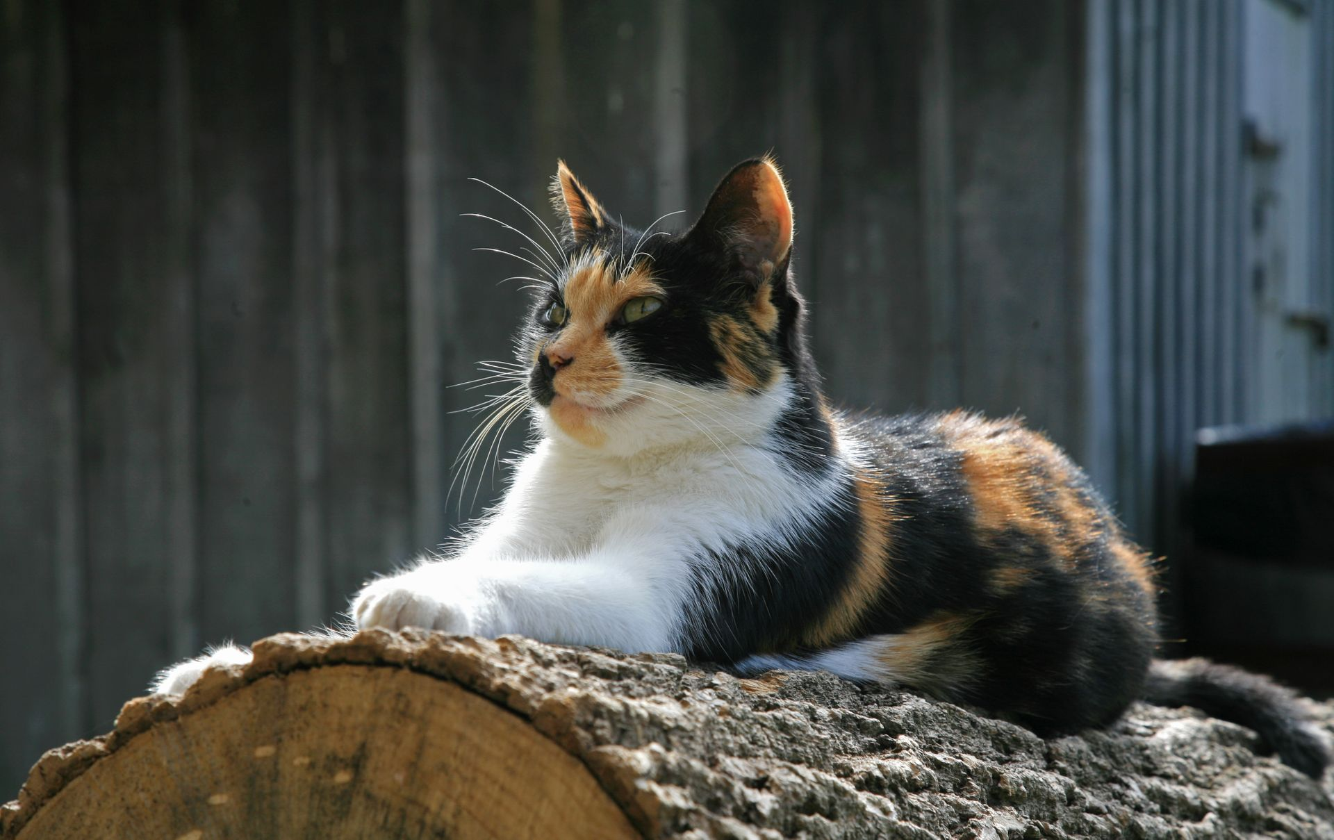 Naming Your Calico Cat Name Ideas For Calico Cats