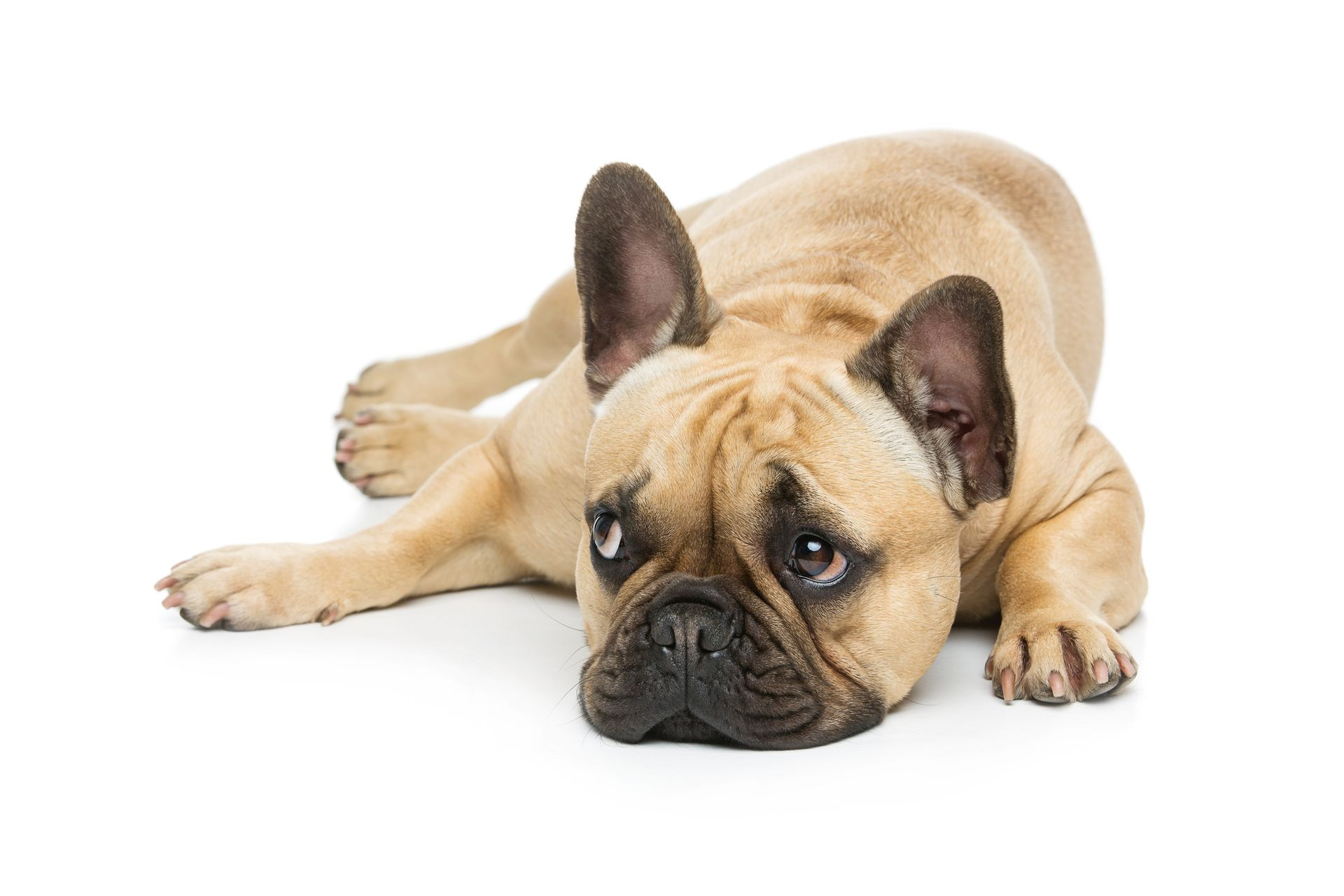 A prone French Bulldog poses for the camera.