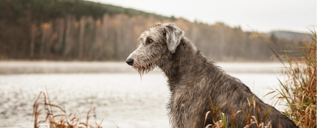 An Irish Wolfhound stares at a body of water.