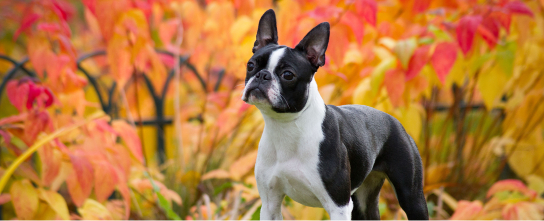 A Boston Terrier poses for a fall-themed photo.