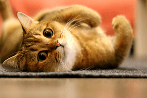 A golden-hair cat lying on its side and looking toward the camera.