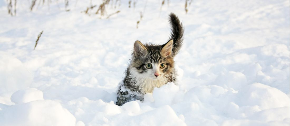 A cat crawls through the snow.
