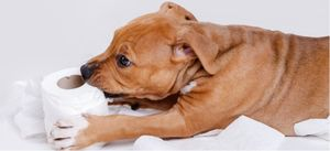 Staffordshire Terrier puppy playing with a roll of toilet paper