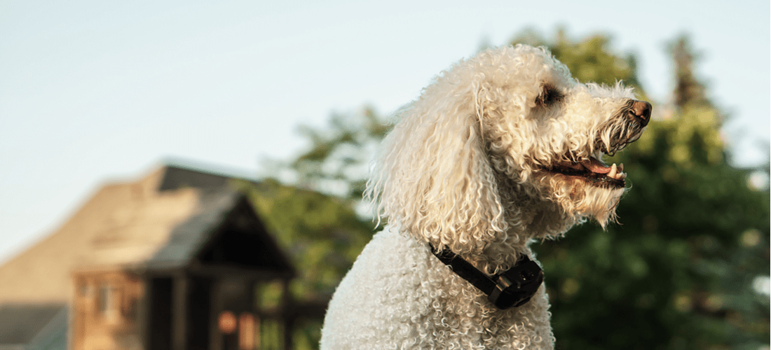 A white dog wearing a bark collar, which isn't an appropriate method to combat excessive barking.