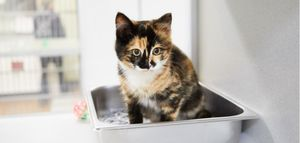 A calico cat sits in its litter box.