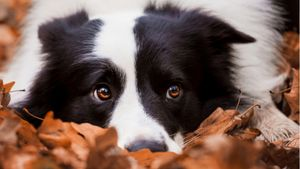 A collie lies down in a pile of autumn leaves.