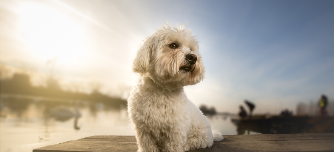 A Coton de Tulear dog sits on the dock by the water.