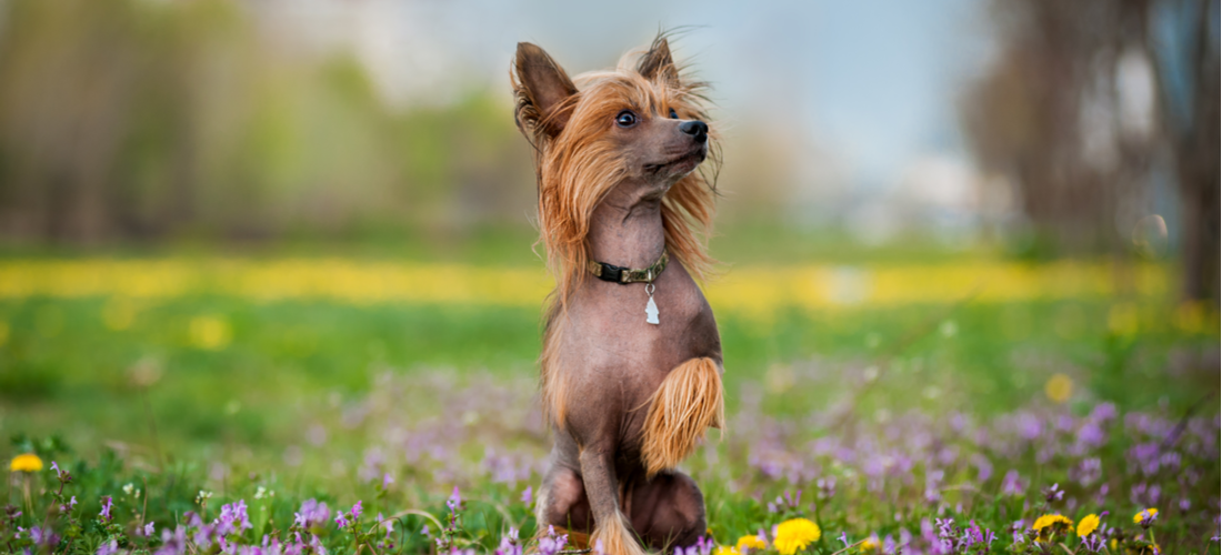 A Chinese Crested dog plays in a flowery meadow.